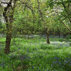 Bluebell woods at Moreton