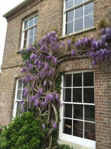 Wisteria season at The Manor